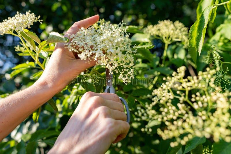 Ernte von weißen elderflower Blumen Eine Frau, welche die Blumen bricht, um einen medizinischen Sirup zuzubereiten stockbilder
