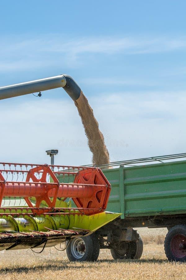 Ernte wird in einen Anhänger auf dem Feld durch den Mähdrescher geladen stockfoto