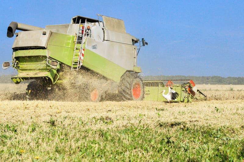 Erntemaschine arbeitet auf dem Gebiet und der Storch sucht nach Lebensmittel in der Nähe lizenzfreies stockfoto