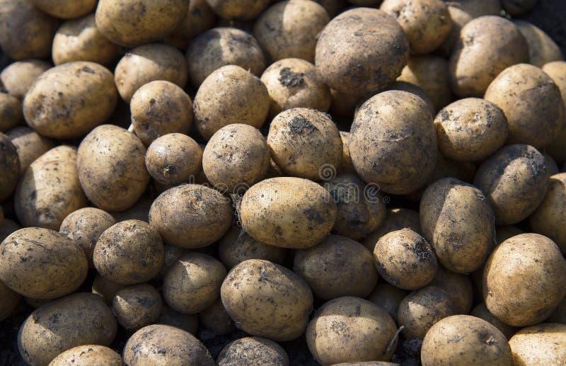 Ernten der Kartoffeln Landwirtschaft comcept lizenzfreie stockbilder