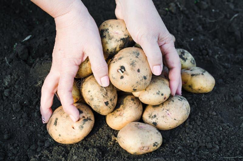 Ernten Sie ökologische Kartoffeln herein in den Händen des Landwirts lizenzfreie stockfotografie