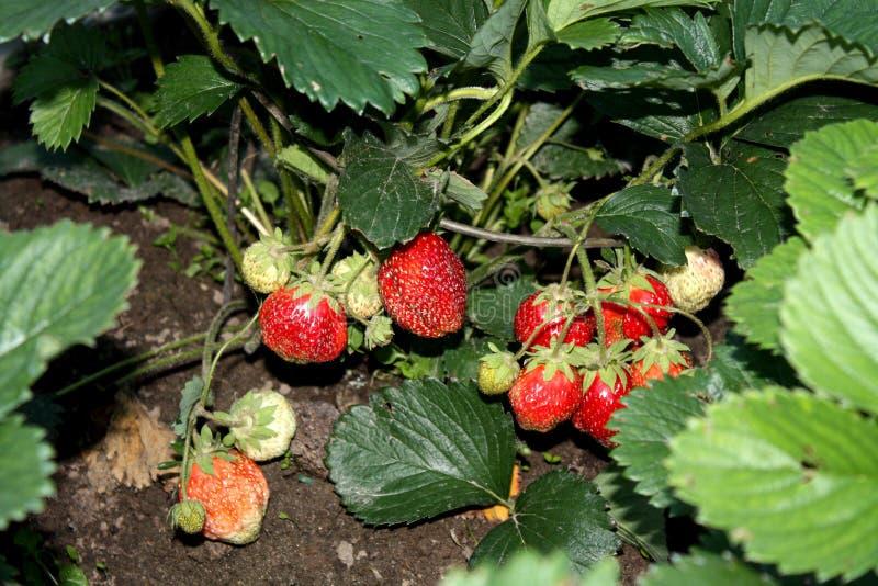Ernten Sie die Ernte von Erdbeeren ist Erdbeere GartenLandhaus lizenzfreie stockfotografie