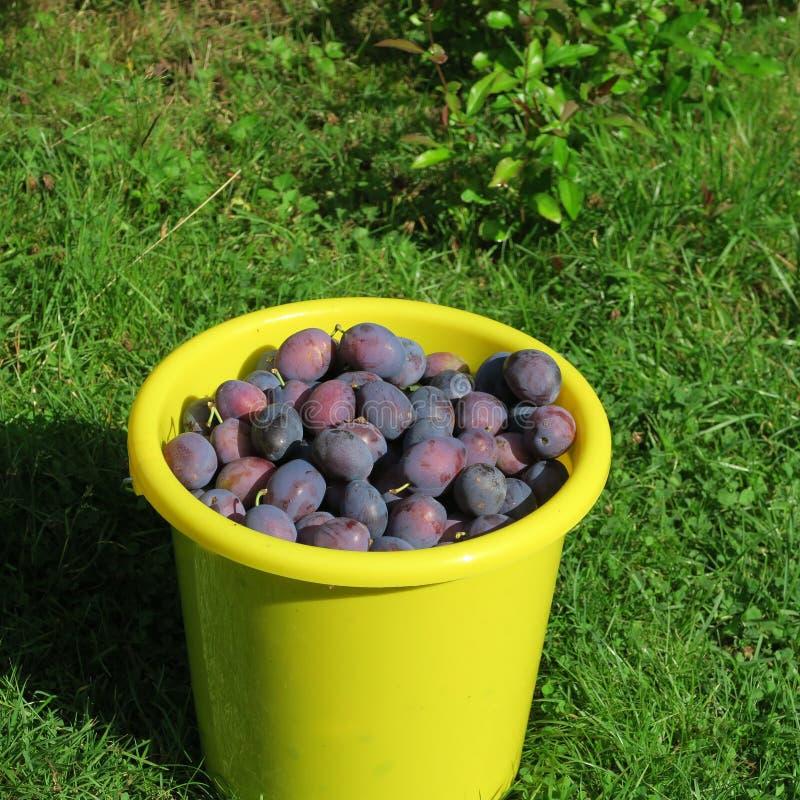 Download Ernten Sie, Die Frischen Blauen Landwirtpflaumen, Die Auf Dem Bauernhof Im Herbst Geerntet Werden Stockbild - Bild von frucht, saftig: 90235487
