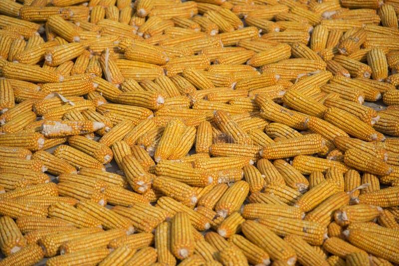 Ernten Sie getrocknetes Maisgetreide für Rohstofflebensmittel lizenzfreies stockfoto