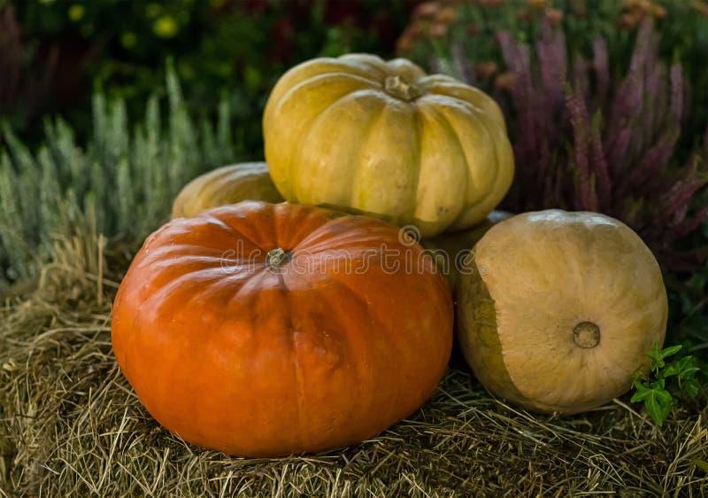 Ernten Sie Kürbise auf beige Strohhintergrund der Gartenpflanze, Herbst lizenzfreie stockbilder