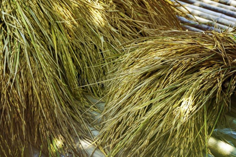 Ernten Sie Reis lizenzfreies stockfoto