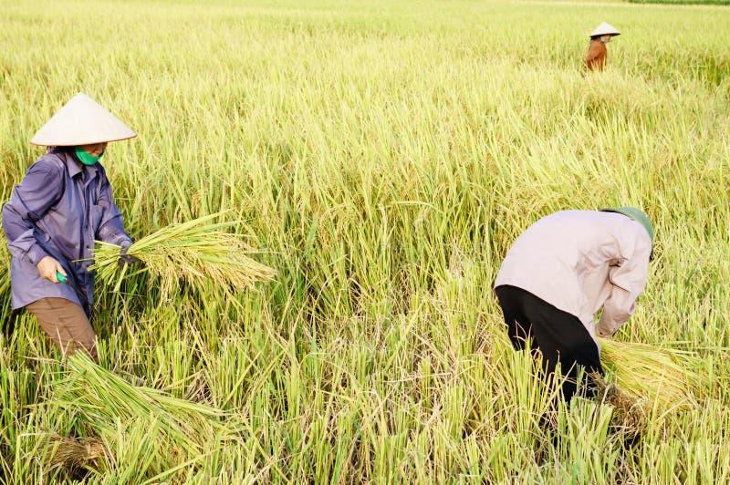 Ernten Sie Reis stockfoto