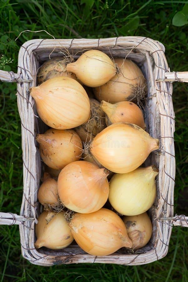 Ernten Sie rohe gelbe Birnen der Zwiebel im Korb lizenzfreies stockbild