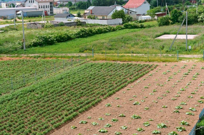 Ernten Sie Sprösslinge, Aussaatfläche, wachsendes Gemüse auf dem Gebiet lizenzfreies stockbild