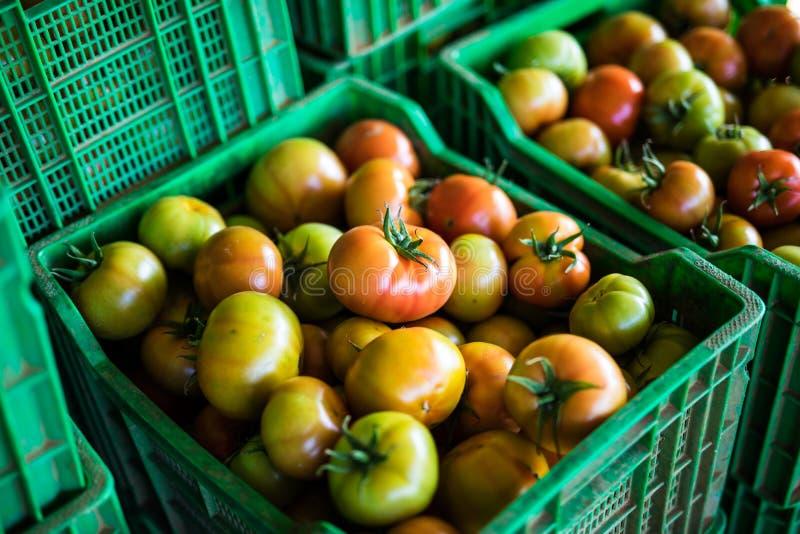 Ernten Sie Tomatentomaten-Erntetomaten in den grünen Plastikkästen stockfotografie