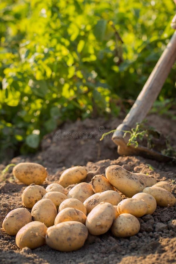 Ernten von jungen Kartoffeln auf Boden Feld in Sunny Day lizenzfreies stockfoto