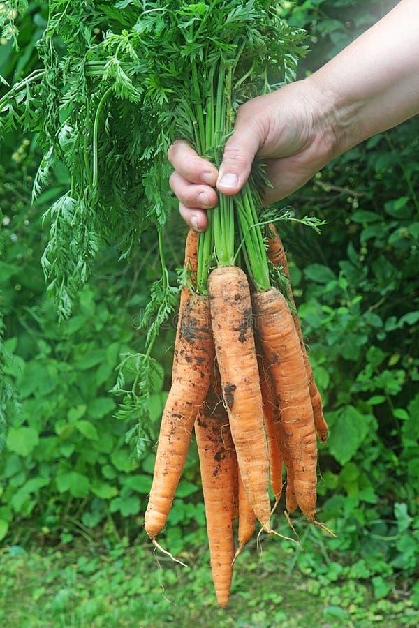 Ernten von Karotten, Hand, die ein Bündel Karotten hält lizenzfreie stockfotos
