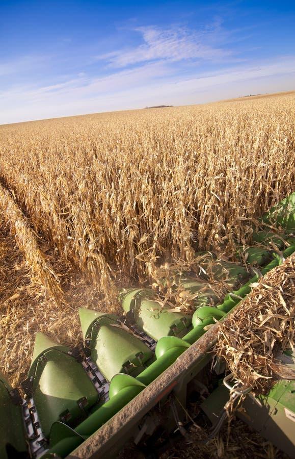 Ernten von Mais lizenzfreies stockbild