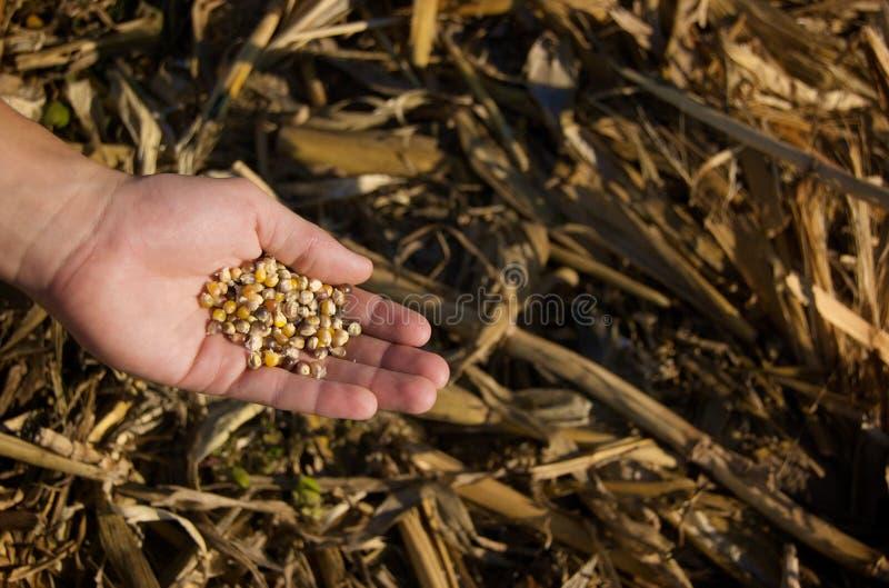Ernten von Mais stockfoto