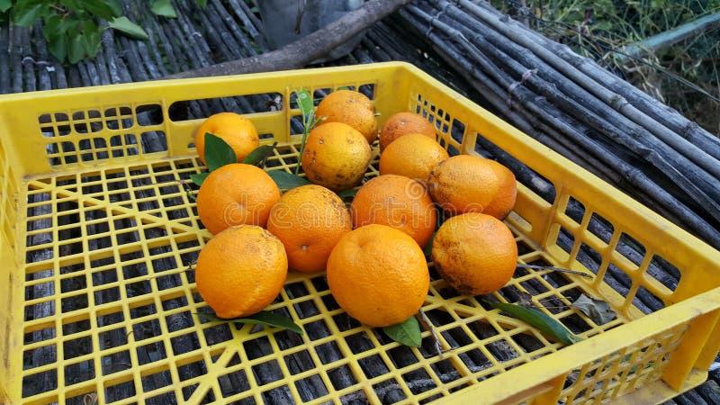 Ernten von Orangen auf dem Gebiet lizenzfreie stockbilder