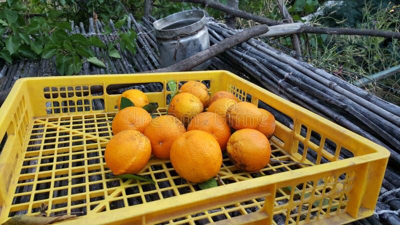 Ernten von Orangen auf dem Gebiet stockfoto
