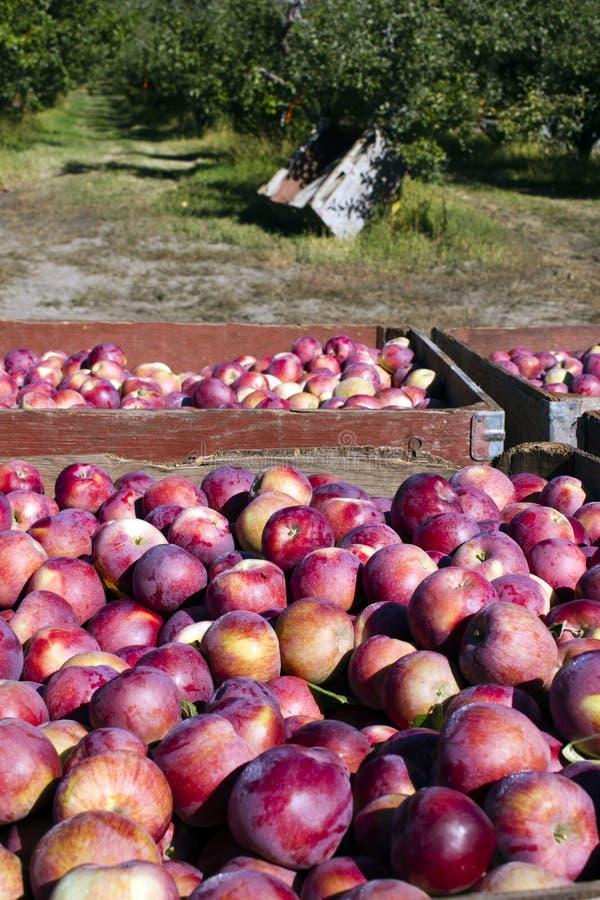 Ernten von organischen roten Äpfeln lizenzfreie stockfotografie