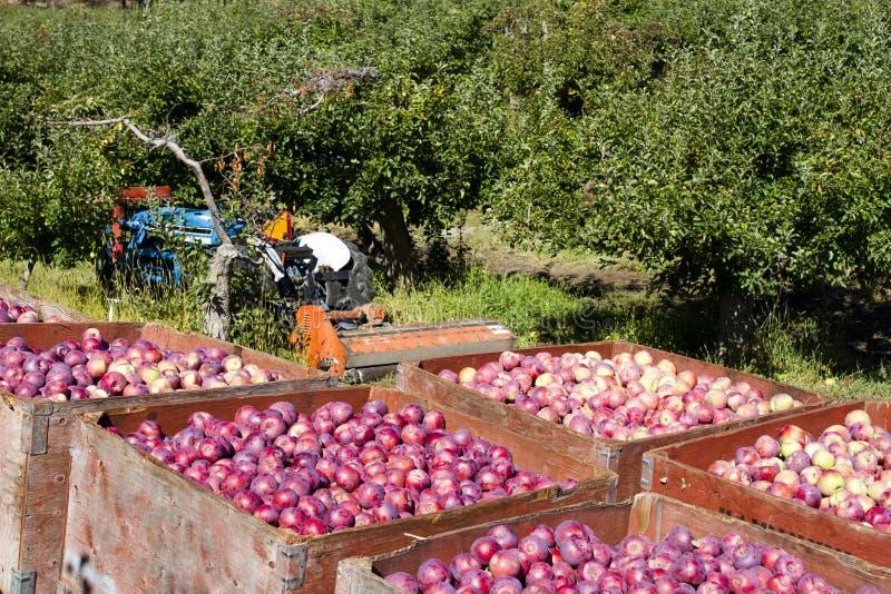 Ernten von organischen roten Äpfeln lizenzfreies stockbild