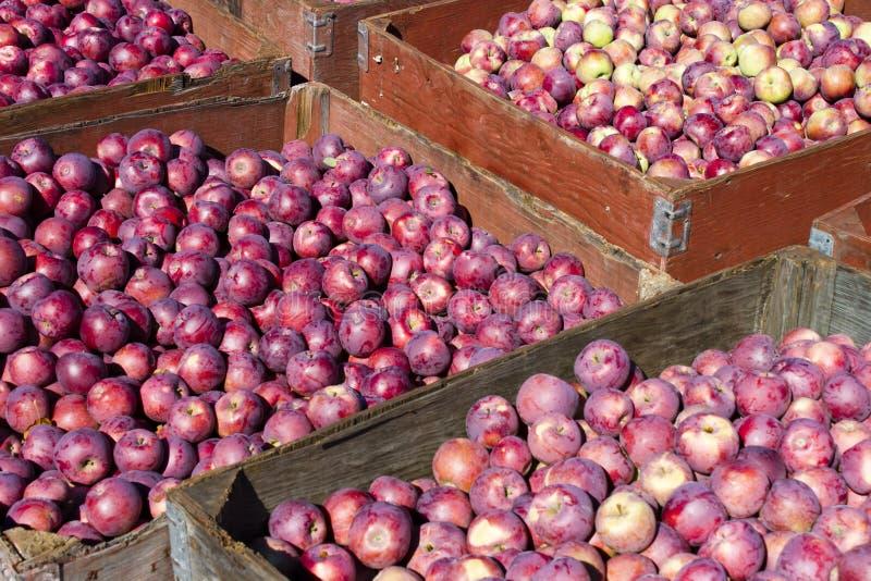 Ernten von organischen roten Äpfeln lizenzfreie stockfotos