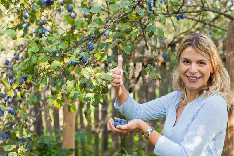 Ernten von Pflaumen im Garten stockfoto