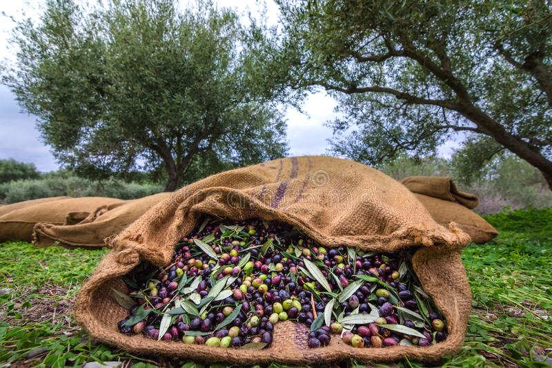 Erntete neue Oliven in den Säcken auf einem Gebiet in Kreta, Griechenland stockfotos