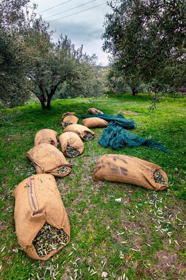 Erntete neue Oliven in den Säcken auf einem Gebiet in Kreta, Griechenland lizenzfreie stockfotografie