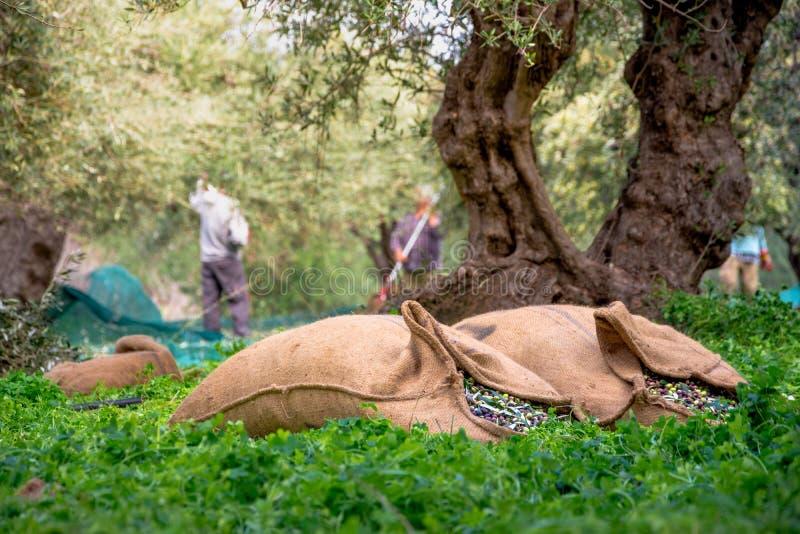Erntete neue Oliven in den Säcken auf einem Gebiet in Kreta, Griechenland lizenzfreie stockbilder