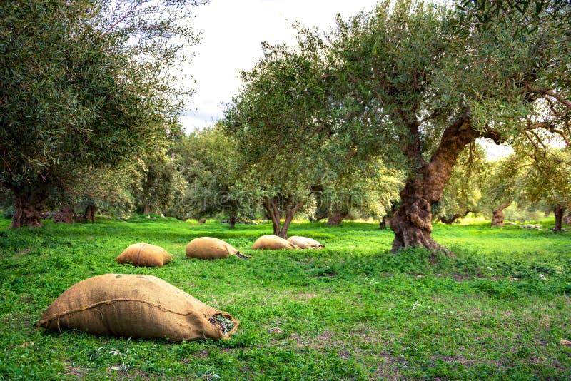 Erntete neue Oliven in den Säcken auf einem Gebiet in Kreta, Griechenland stockbilder