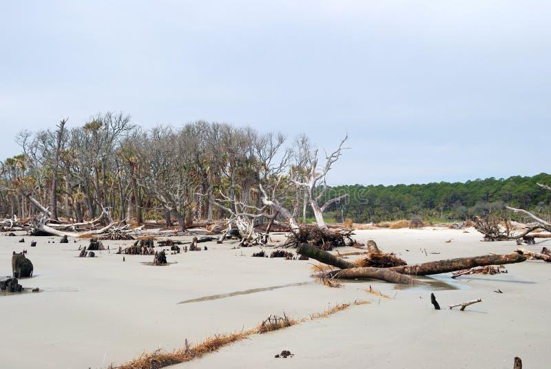 Erosion killed trees at Hunting Island, SC USA royalty free stock photo