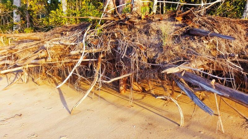 Erozja przy plażowymi pokazuje drzewo korzeniami zdjęcie royalty free