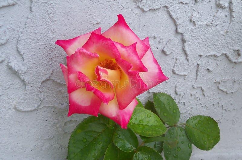 Erröten und rosa Dick Clark Rose lizenzfreie stockbilder