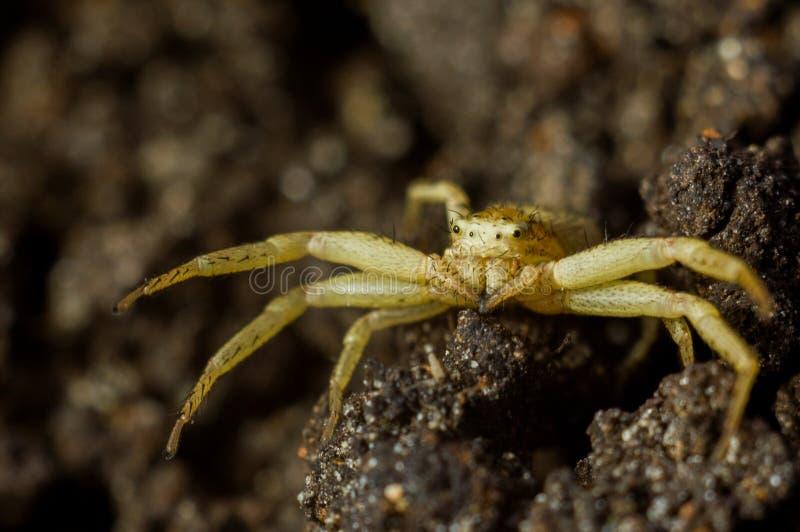 Erraticus de Xysticus de la araña imagenes de archivo