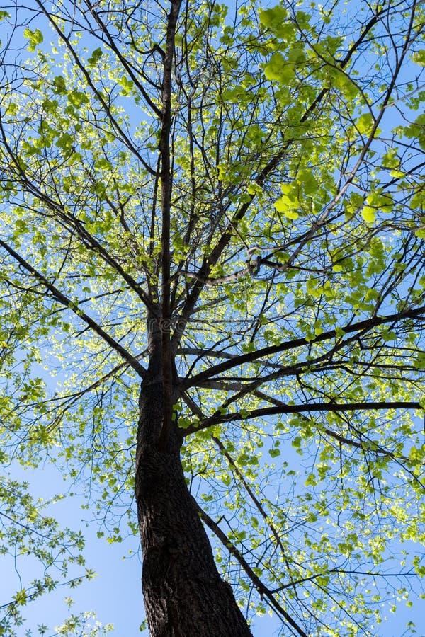 Erreichen Sie herauf Ansicht zur sonnenbeschienen Frühlingslinde mit grünen Blättern gegen blauen Himmel einen Tiefstand stockfotografie