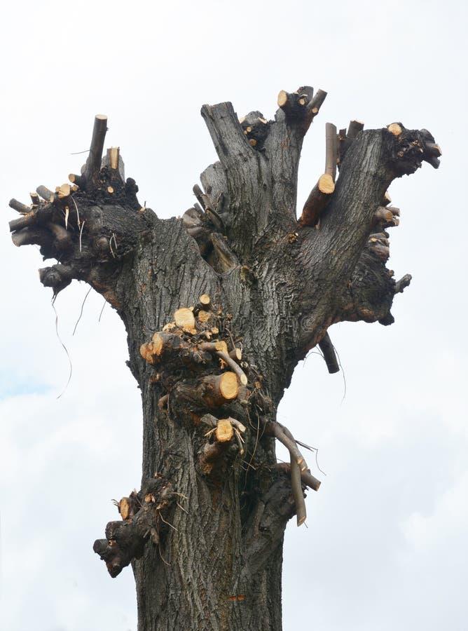 Erreur commune d'?lagage Branches d'arbre de coupe Mauvais élagage de branches d'arbre au printemps photo libre de droits