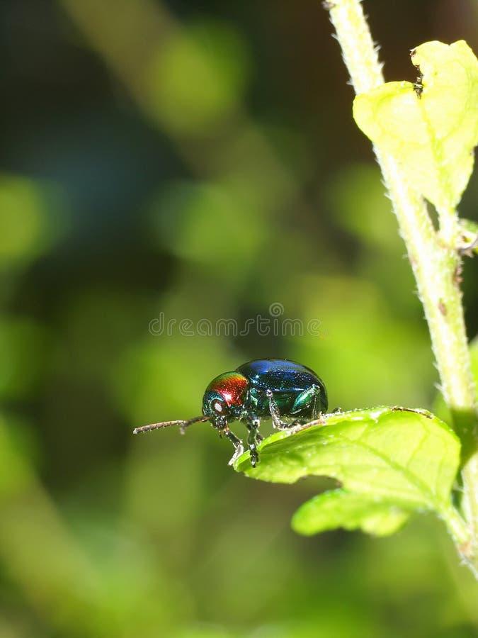Erro azul nas folhas verdes fotografia de stock