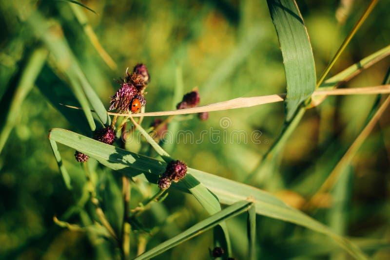 Erro bonito da joaninha na planta verde da flor no jardim ensolarado do verão fotos de stock royalty free