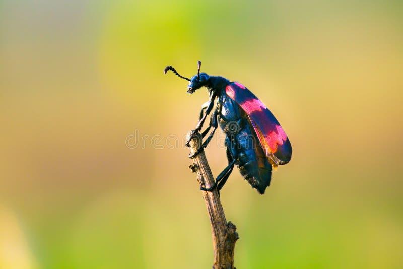 Erro do besouro de bolha - Hang On imagens de stock