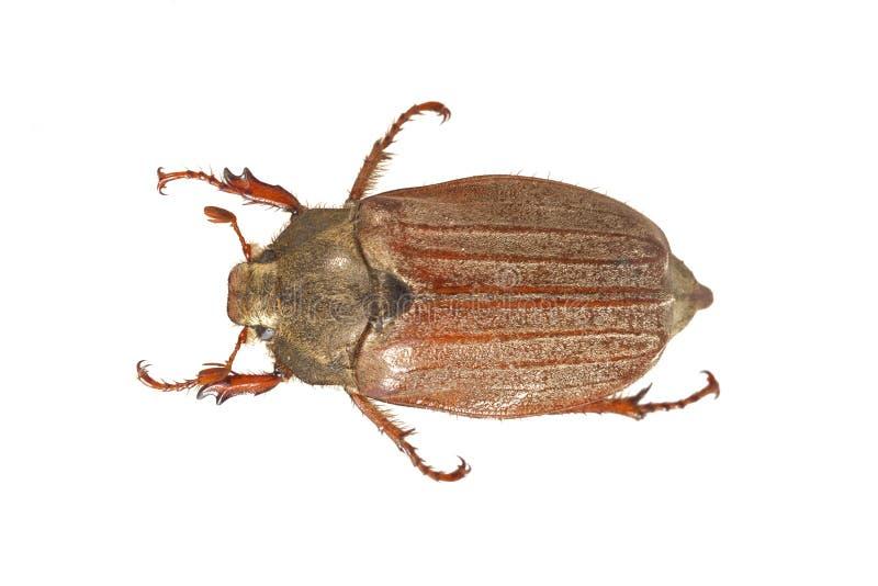 Erro do besouro europeu ou do maio & x28; Melolontha& x29 do Melolontha; em um fundo branco foto de stock