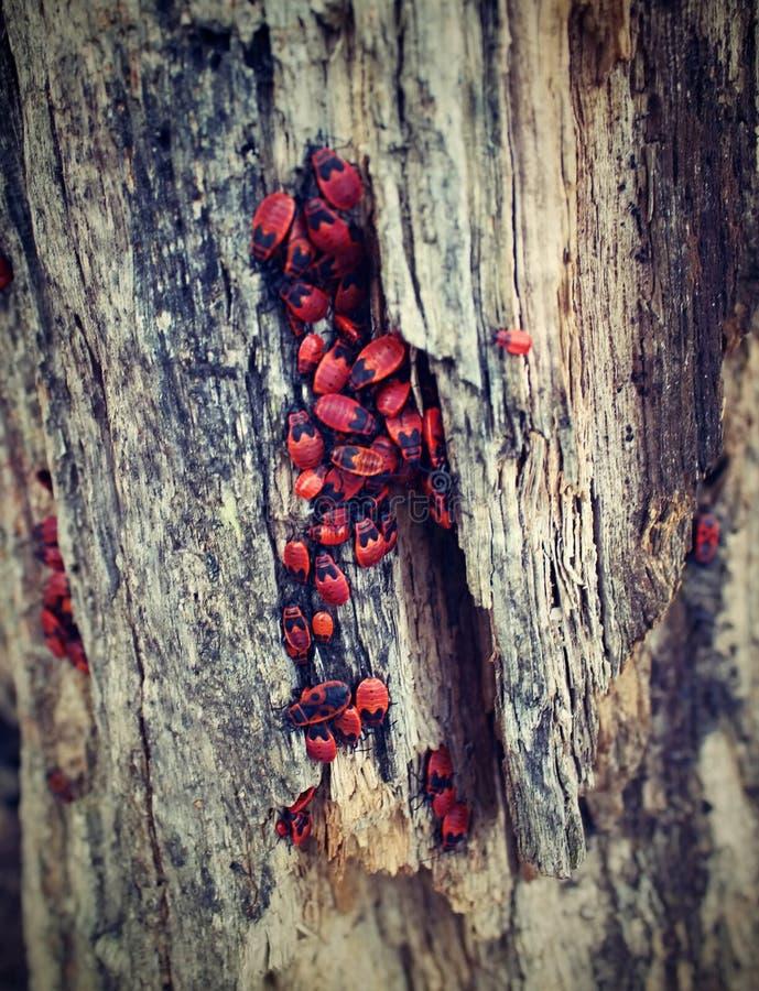 Erro vermelho na madeira foto de stock royalty free