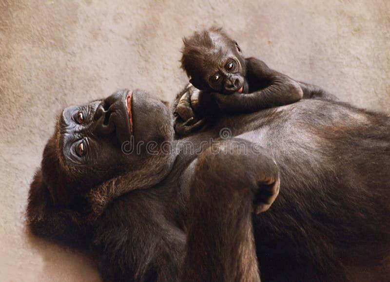 Erschöpfter Gorilla mit ihrem Kind stockfotos