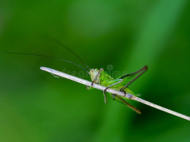 Erschrocken, vorsichtig, junges grünes Kricket schauend lizenzfreies stockbild