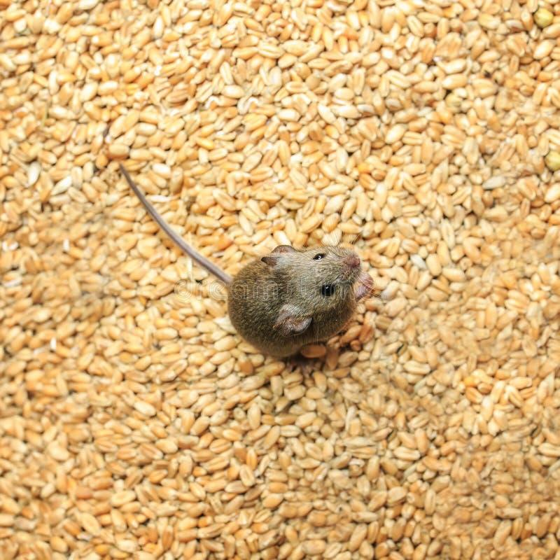 Erschrockene graue Nagetiermaus, die auf einem Vorrat an Weizenkörnern und die Ernte verderben sitzt lizenzfreie stockfotografie