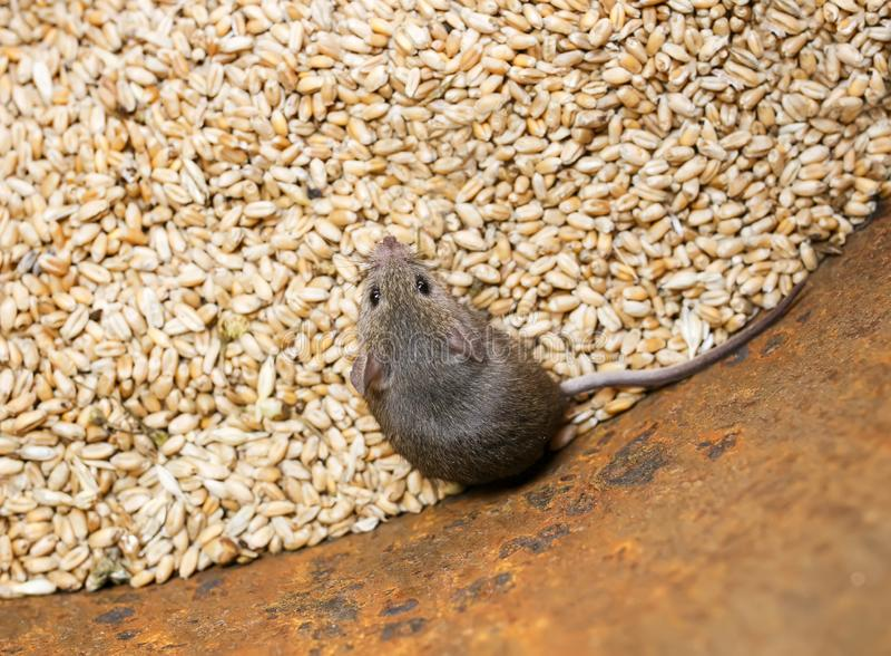 erschrockene graue Nagetiermaus, die in einem Fass mit einer Versorgung Weizenkörnern und die Ernte verderben sitzt lizenzfreie stockbilder