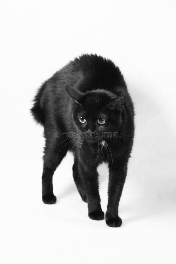 Erschrockene schwarze Katze lizenzfreie stockfotos