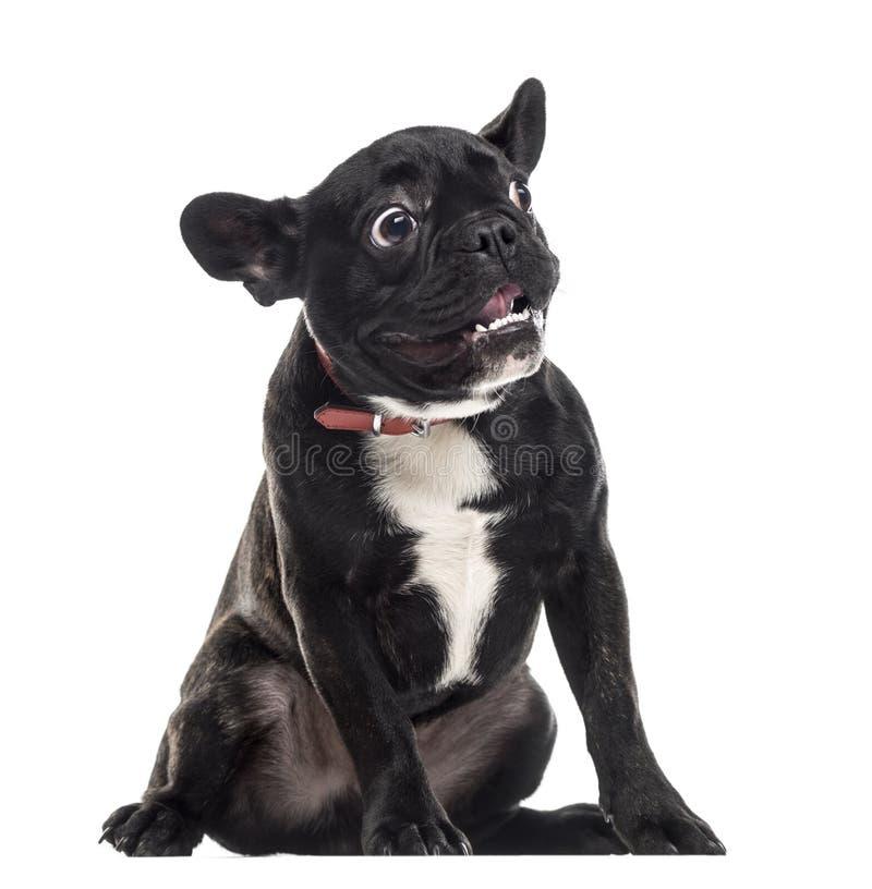 Erschrockene stumme französische Bulldogge, die ein Gesicht, lokalisiert auf Weiß macht stockbild