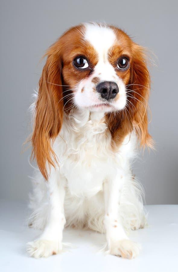 Erschrockener Hund Nettes verlassenes erschrockenes Spaniel-Hundehaustiertierfoto Königs Charles guity Gesichtes unbekümmertes Er stockbild