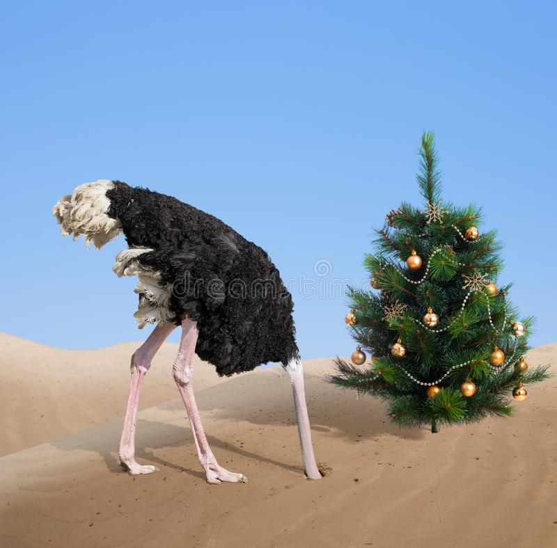 Erschrockener Strauß, der Kopf im Sand unter Weihnachtsbaum begräbt stockfoto