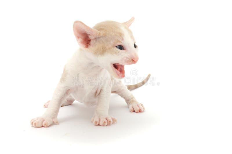 Erschrockenes kleines Kätzchen stockbilder