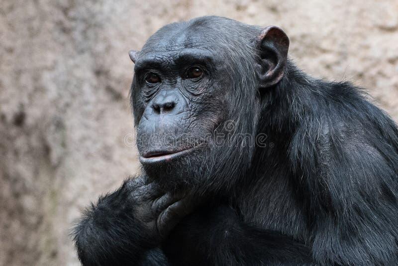 Erstaunen - Gesicht eines Bonobo, Pan-paniscus - eine Art Pygmäenschimpanse am Zoo von Leipzig lizenzfreies stockfoto