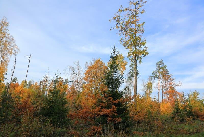 Erstaunliche Ansicht über Herbstwald mit grünen Orangenbäumen auf blauem Himmel mit Weiß bewölkt Hintergrund stockbild